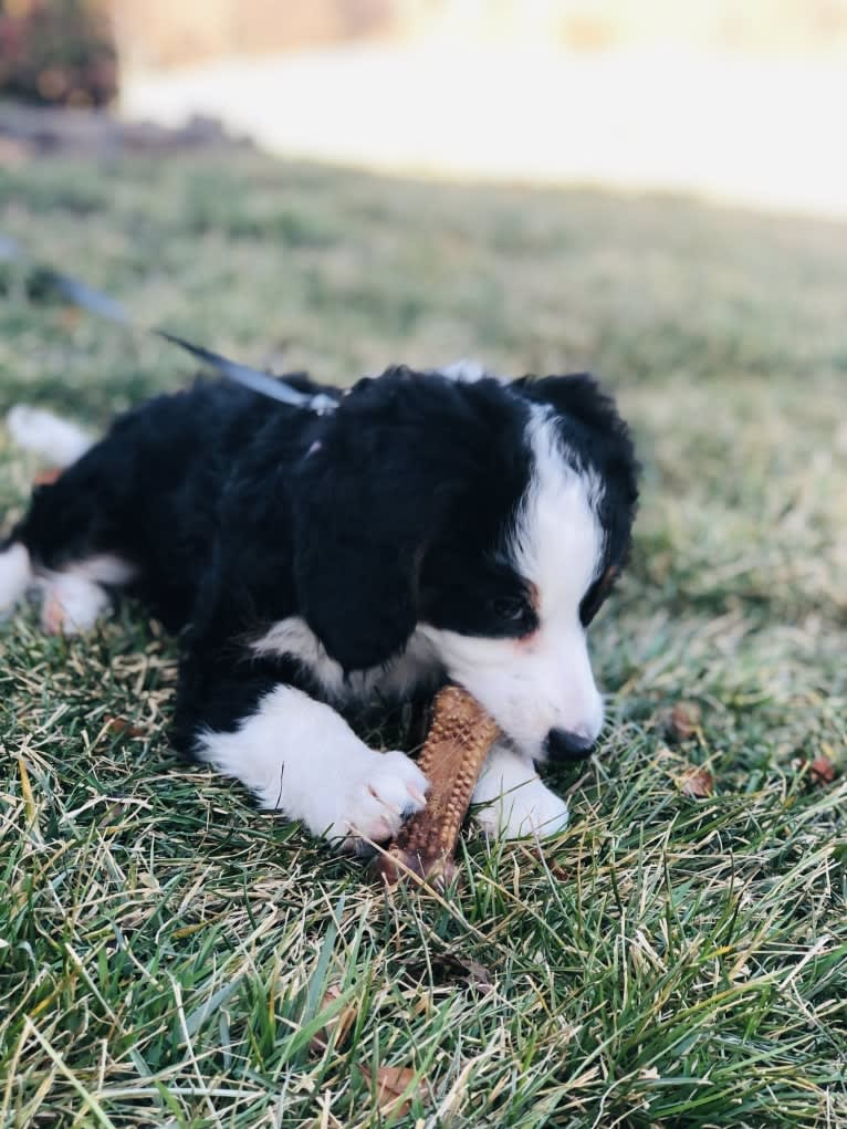 Photo of Lola, a Bernedoodle  in Millersburg, OH, USA
