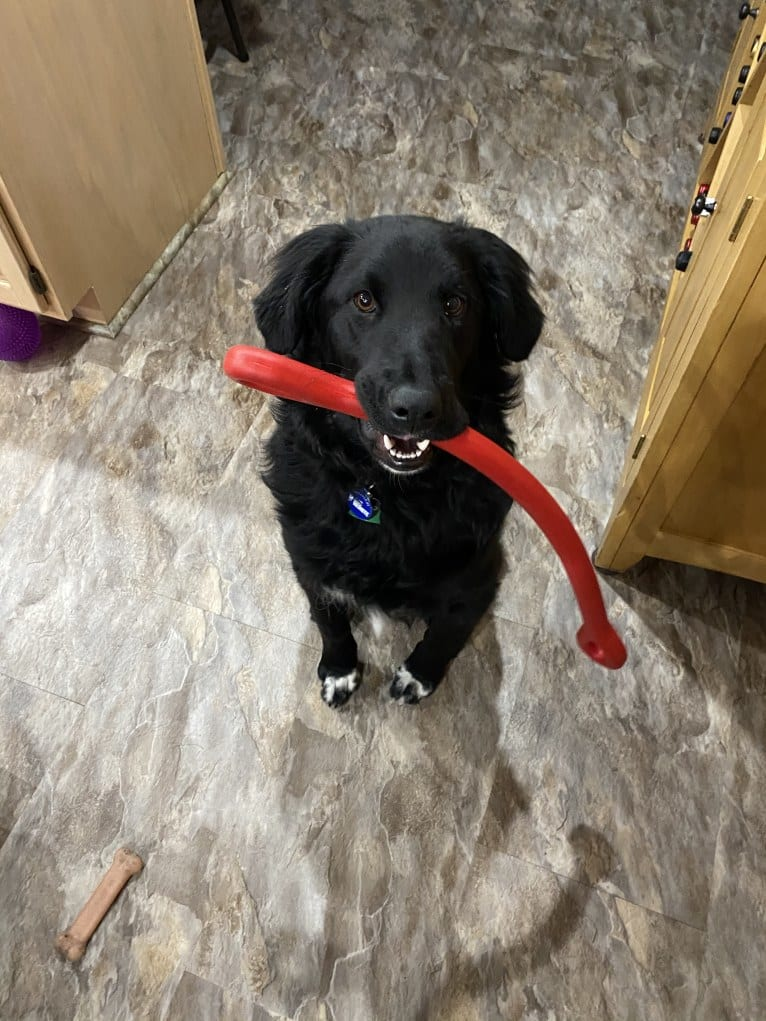 Photo of Care Bear Ross, a Labrador Retriever, Australian Cattle Dog, Golden Retriever, and Mixed mix in New Hampshire, USA