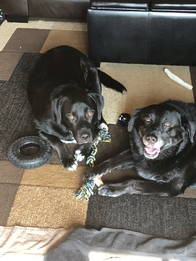 Photo of Maverick, a Boxer, Labrador Retriever, American Bulldog, Border Collie, and Beagle mix in Ohio, USA