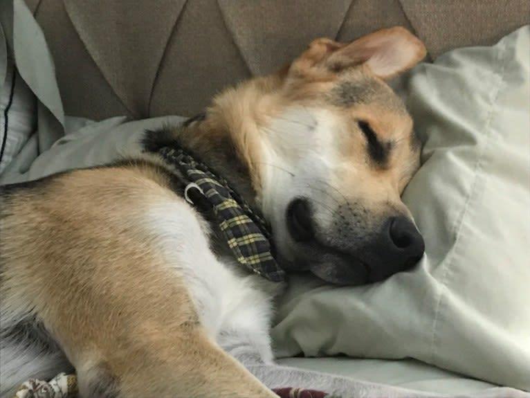 Photo of Jasper, a Siberian Husky, German Shepherd Dog, Great Pyrenees, Labrador Retriever, and Alaskan Malamute mix in Texas, USA