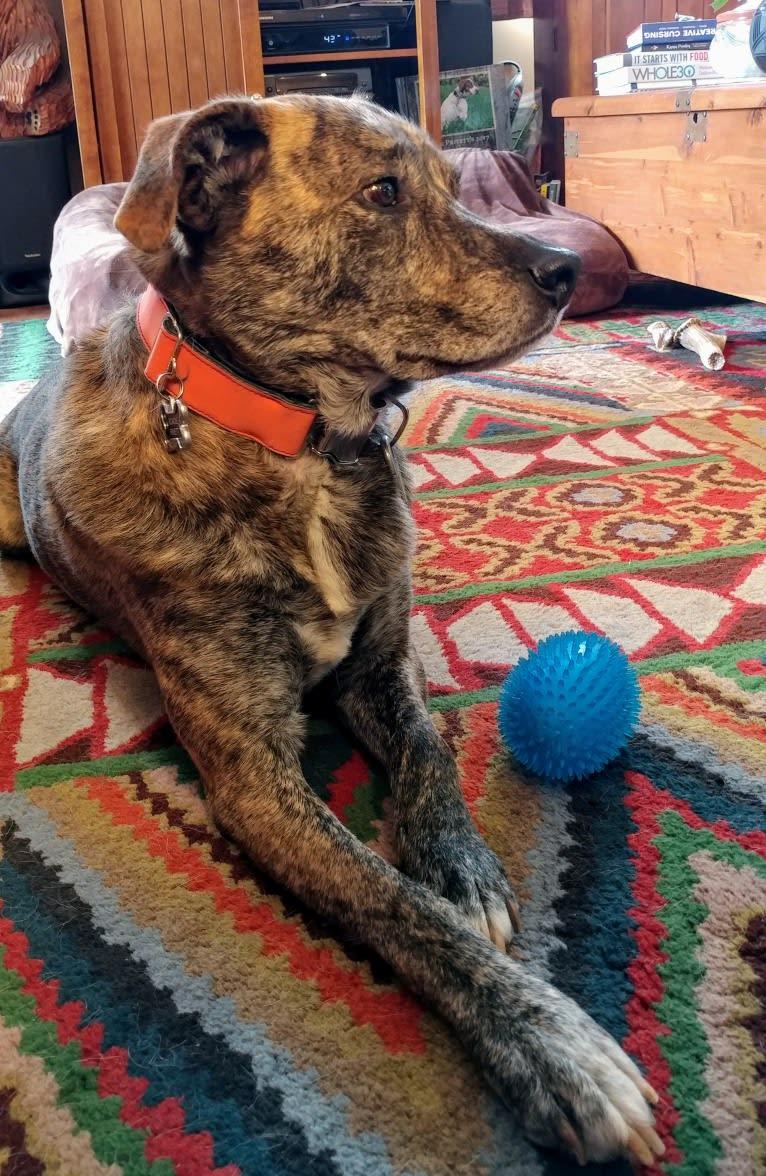 Photo of Roadie, a Labrador Retriever, Rottweiler, Siberian Husky, German Shepherd Dog, and Mixed mix in Pawnee, Oklahoma, USA