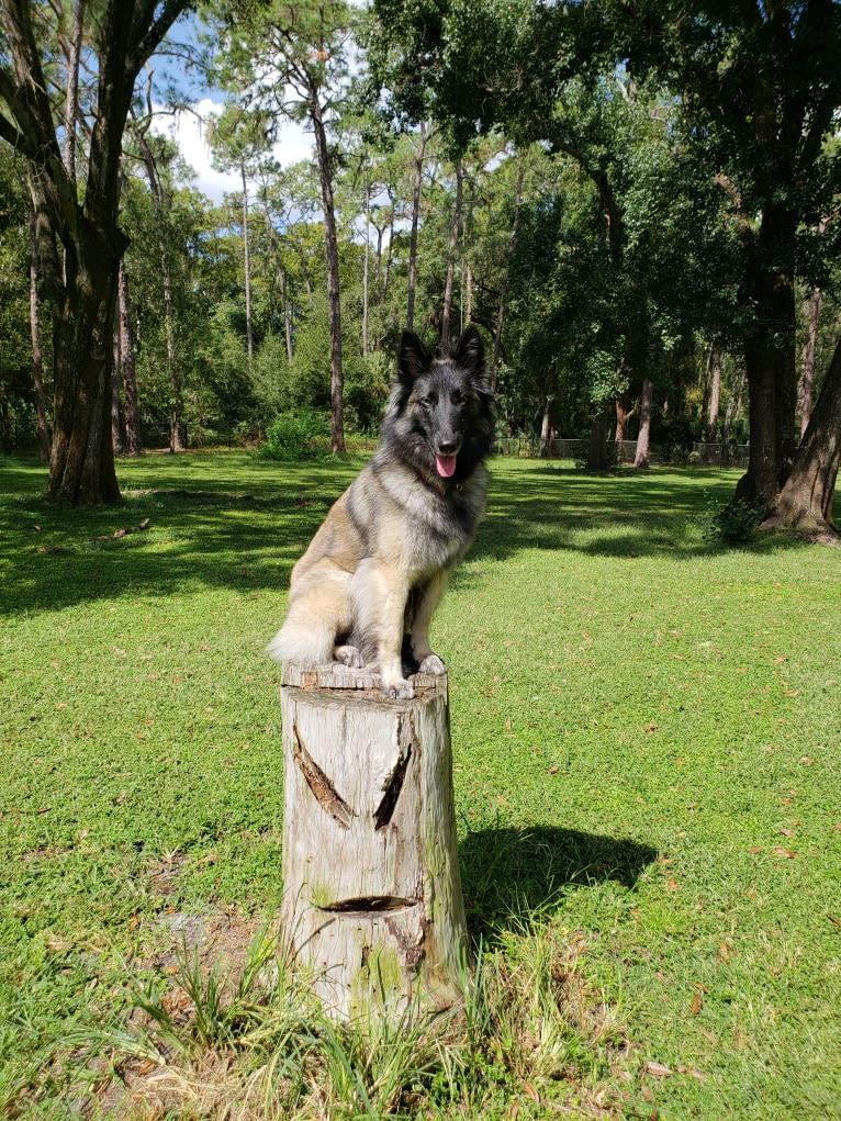 Photo of Valkerjia, a Belgian Shepherd  in Austell, Georgia, USA