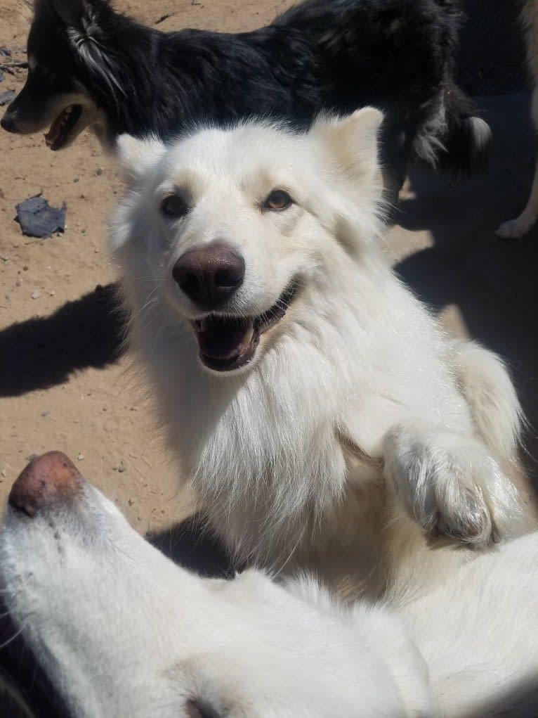 Photo of Frosty, a German Shepherd Dog, Siberian Husky, Samoyed, Alaskan Malamute, and Mixed mix in Deming, NM, USA