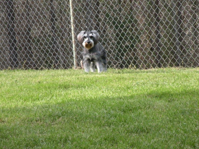 Photo of Fritz, a Miniature Schnauzer  in Georgia, USA