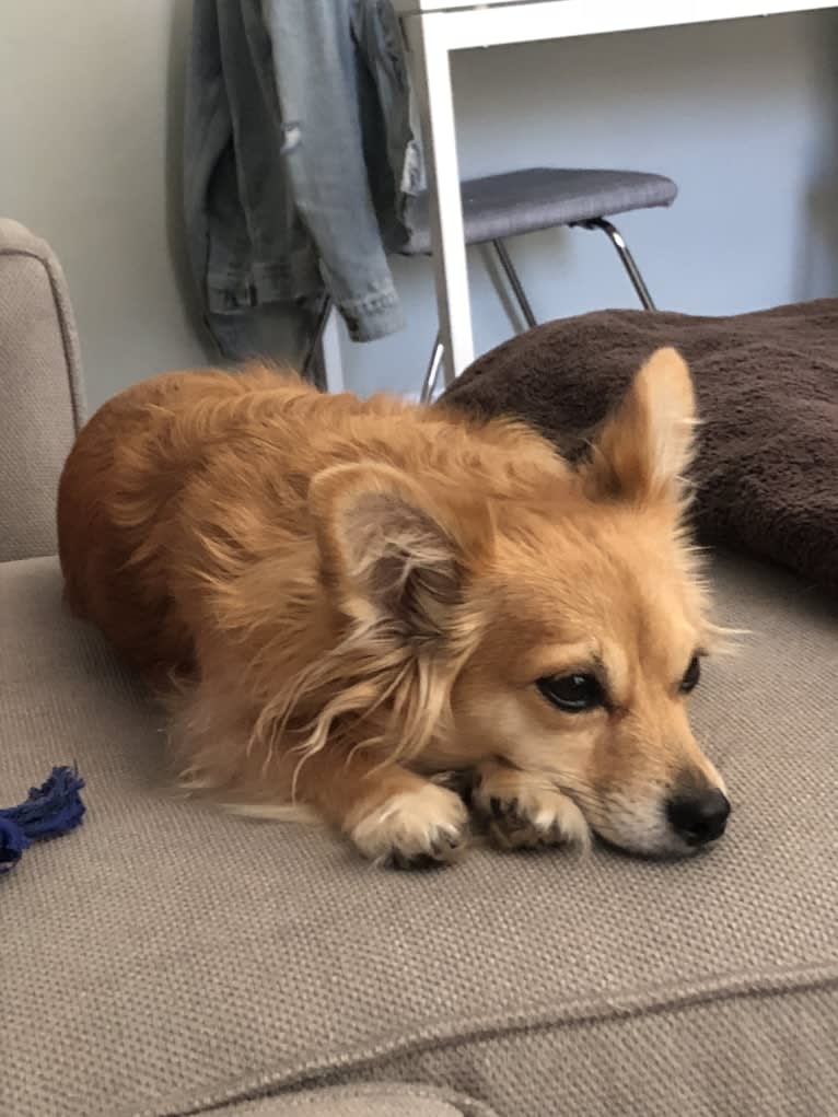 Photo of Mimi, a Chihuahua, Poodle (Small), and Mixed mix in San Diego, California, USA