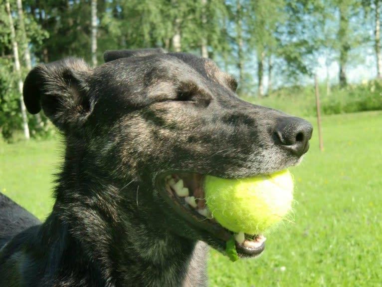 Photo of Olia, an European Village Dog  in Latvia