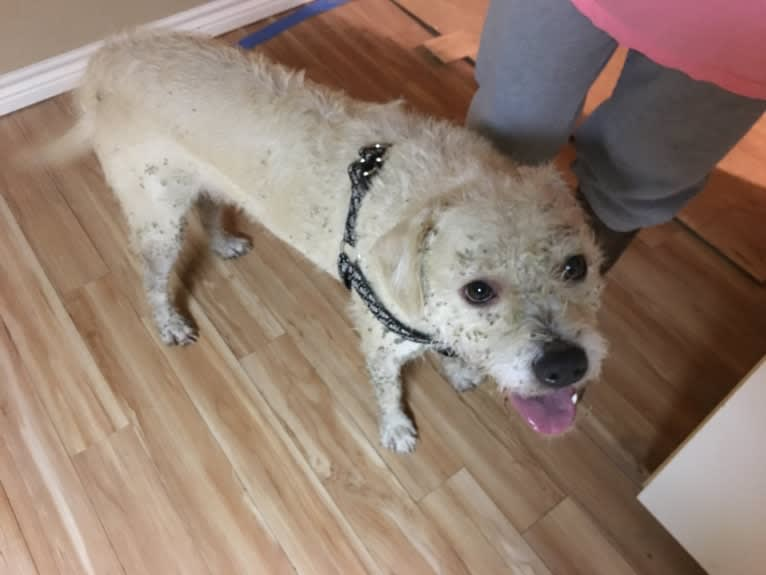 Photo of Buddy, an American Pit Bull Terrier, Shih Tzu, and Poodle (Small) mix in Whitesboro, Texas, USA