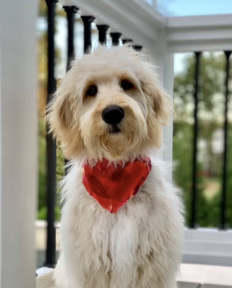 Photo of Clancy, a Goldendoodle  in Spring Lake, NC, USA