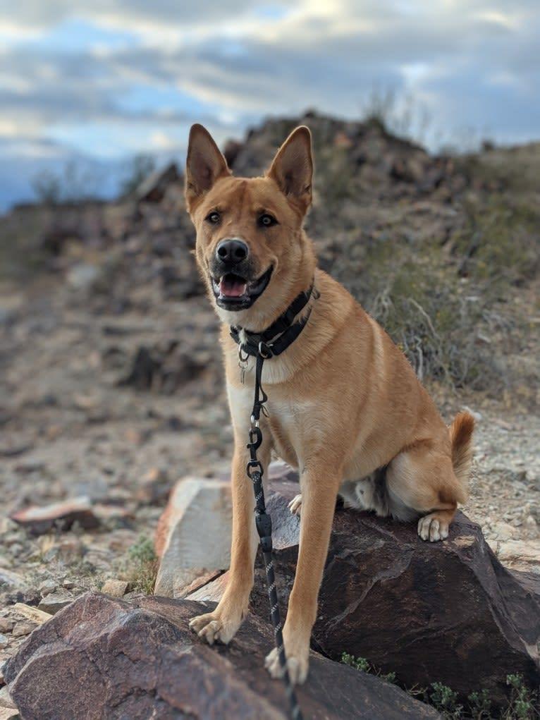 Photo of Nico, a Siberian Husky, Rottweiler, German Shepherd Dog, American Pit Bull Terrier, and Chow Chow mix in Phoenix, Arizona, USA