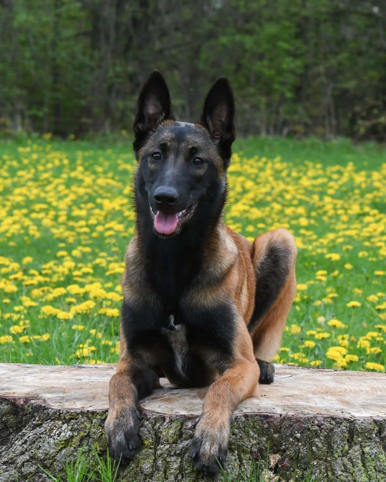 Photo of Porter, a Belgian Shepherd  in Porter, OK, USA