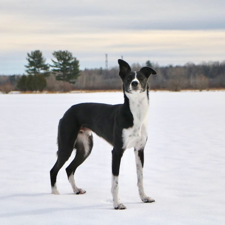 Photo of Proven, a Border Collie and Whippet mix in United States