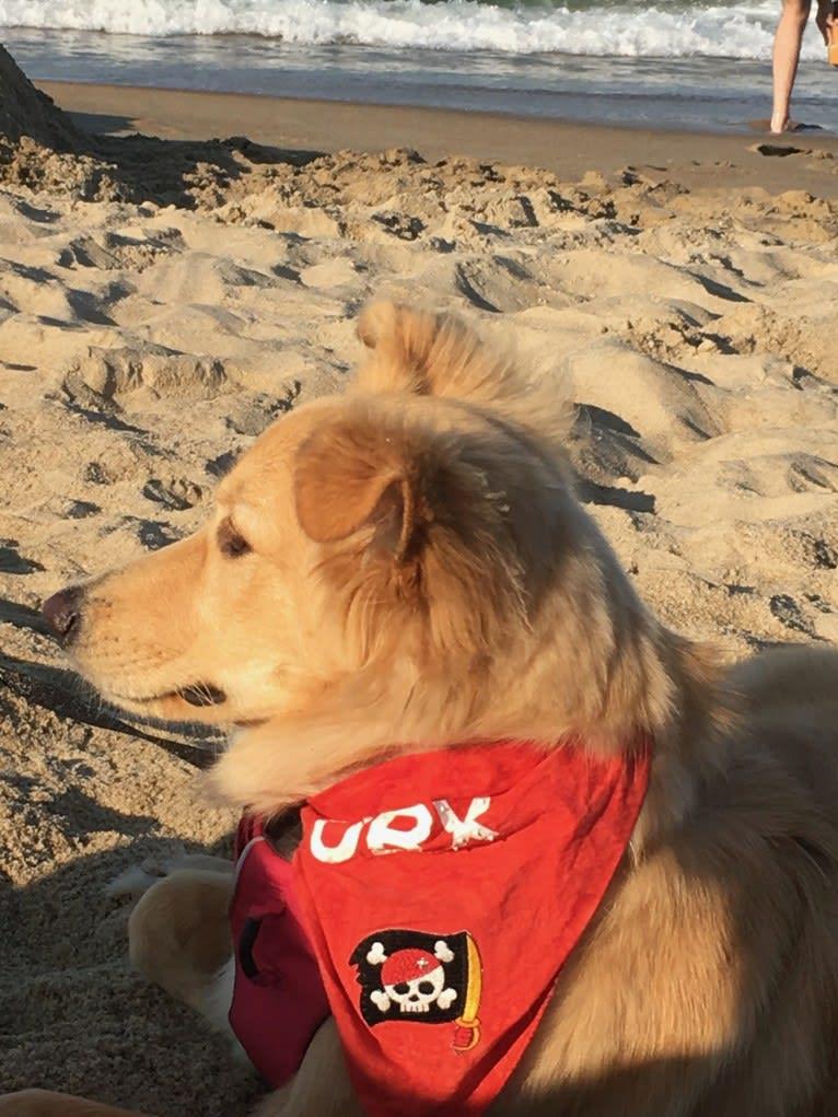 Photo of Sadie, a German Shepherd Dog and Golden Retriever mix