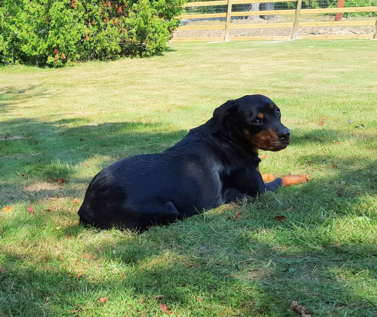 Photo of Agnes, a Rottweiler  in Covington, Virginia, USA