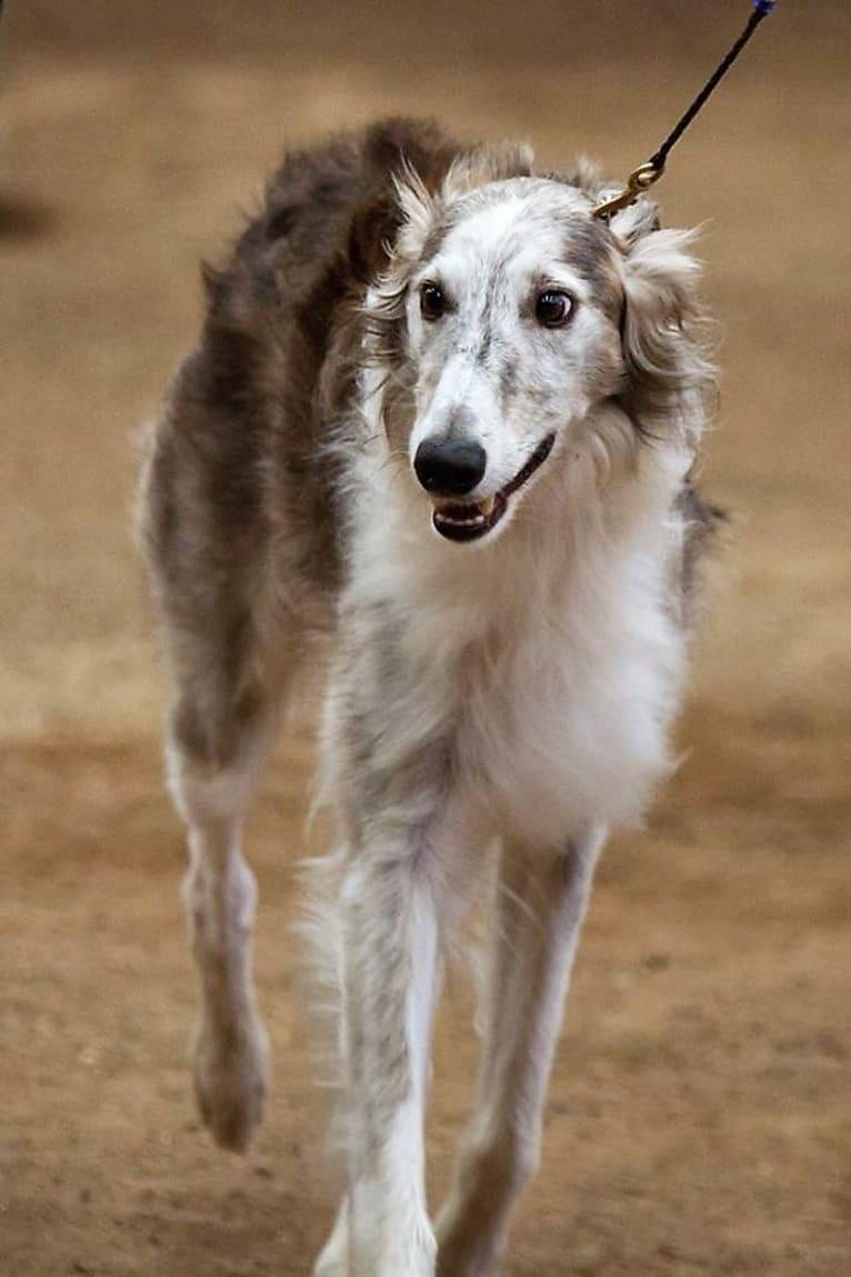 Photo of Woofie, a Silken Windhound  in Grass Valley, California, USA