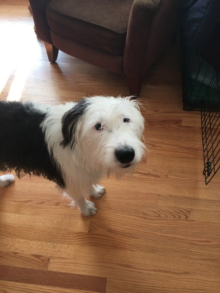 Photo of Perry, an Old English Sheepdog, American Pit Bull Terrier, and German Shepherd Dog mix in Texas, USA
