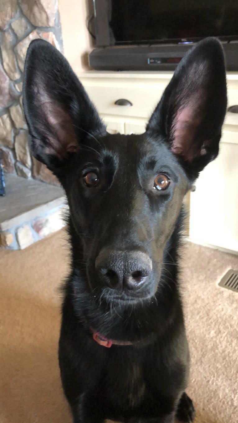 Photo of Elbie, a German Shepherd Dog and Coonhound mix