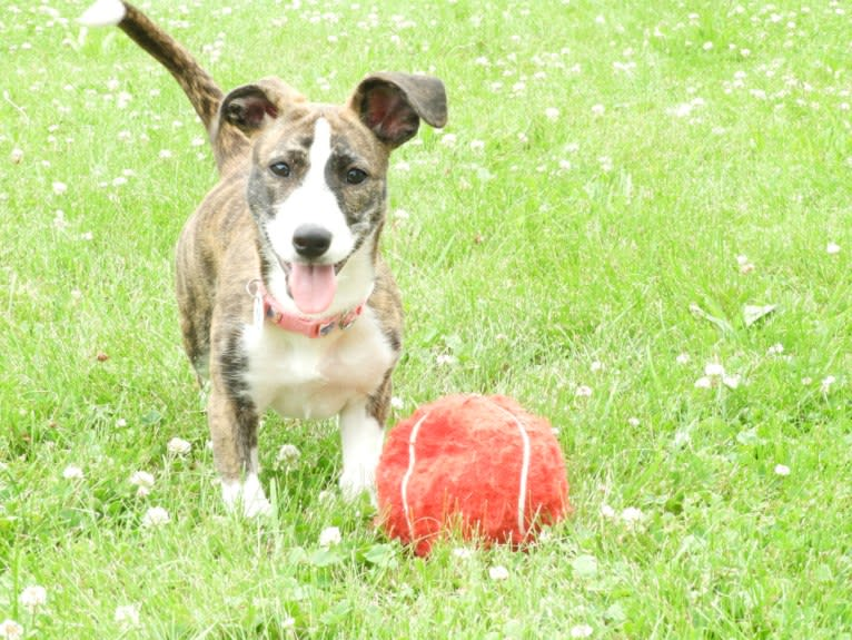 Photo of Rylie, a Mountain Cur, Rat Terrier, and Beagle mix