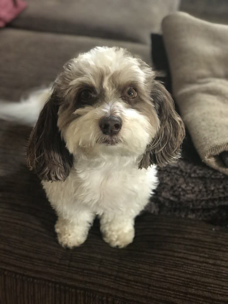 Photo of Tully, a Poodle (Small), Shih Tzu, and Maltese mix in Sacramento, California, USA