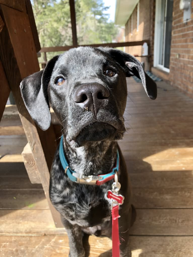 Photo of Malakhi, an American Pit Bull Terrier, Boxer, Labrador Retriever, and Mixed mix in North Carolina, USA