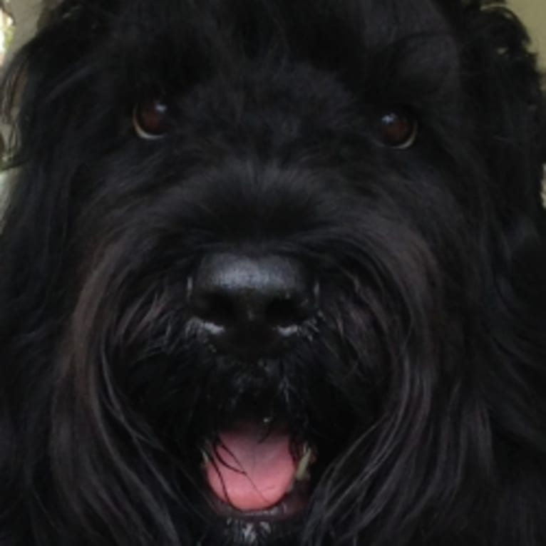 Photo of Fleur, a Black Russian Terrier
