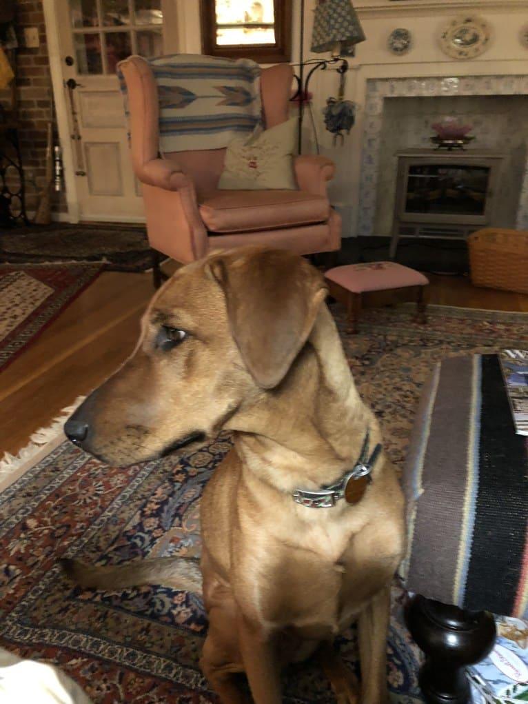 Photo of Duchess, a Doberman Pinscher and American Pit Bull Terrier mix in Cheltenham, Maryland, USA