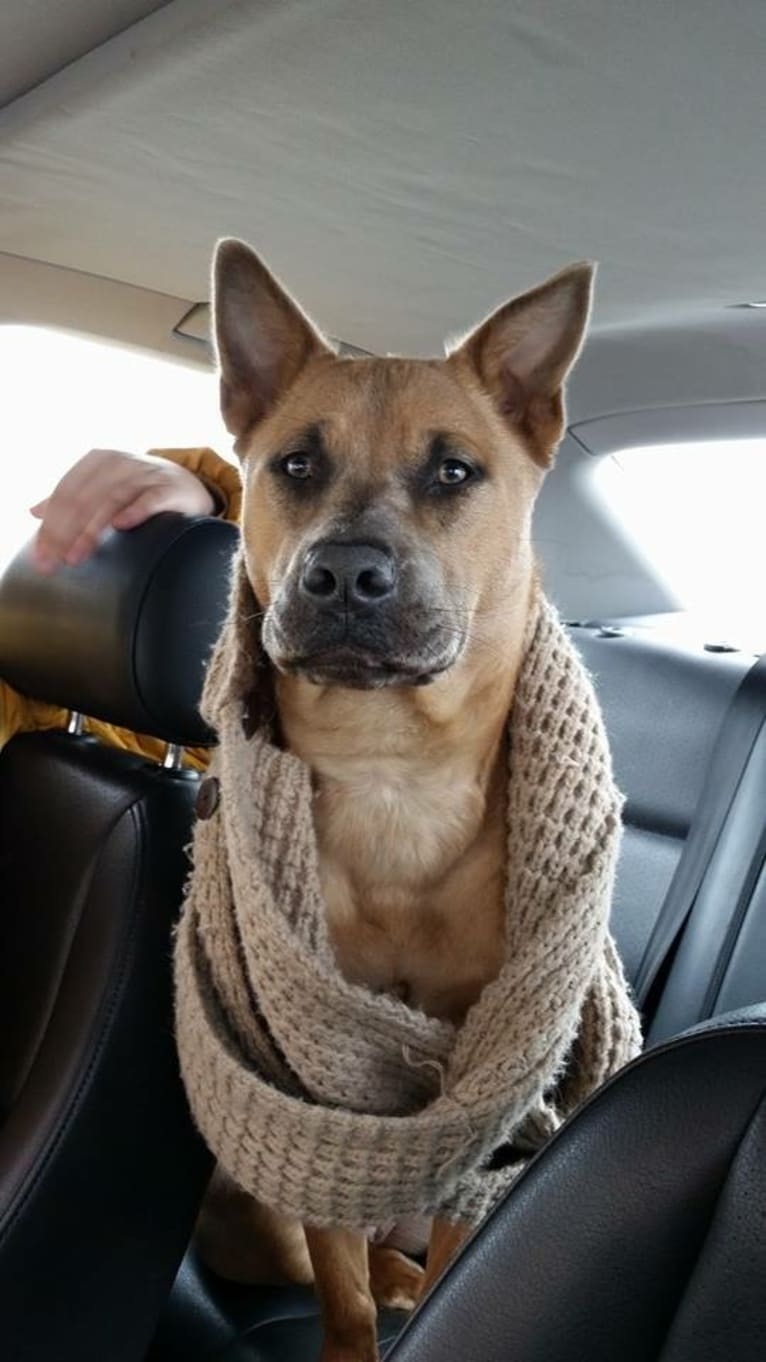 Photo of Sunny, an American Pit Bull Terrier, Chow Chow, Australian Cattle Dog, Boxer, and Rottweiler mix in Denver, Colorado, USA