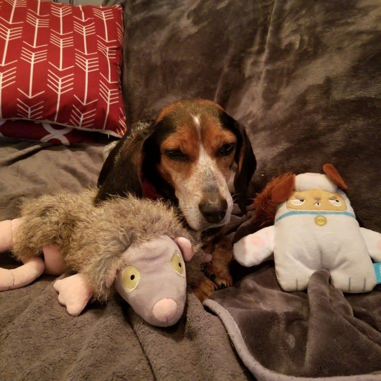 Photo of Astrid, a Beagle