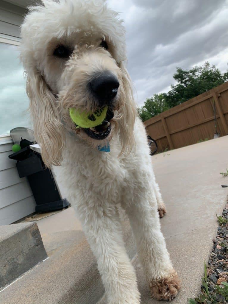 Photo of Sammy, a Goldendoodle  in Aurora, Colorado, USA