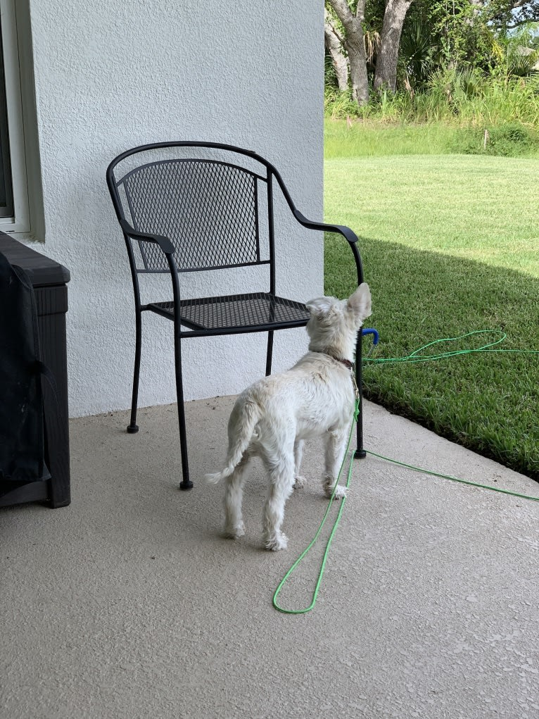Photo of Max, a Miniature Schnauzer  in Palm Bay, Florida, USA