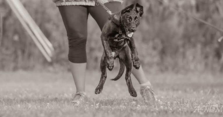 Photo of Franky, a Belgian Shepherd  in Illinois, USA