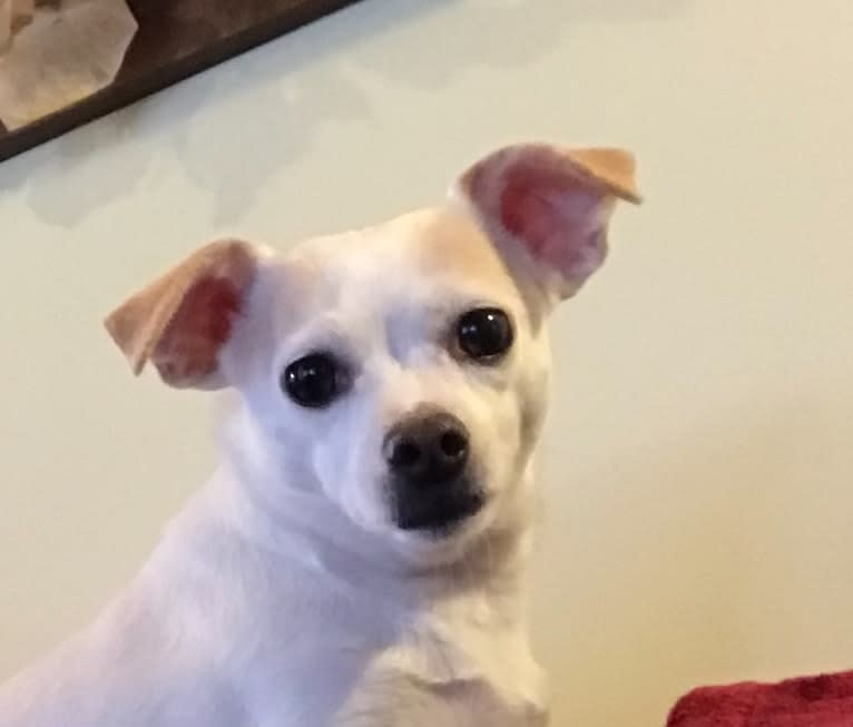 Photo of JoJo, a Chihuahua, Russell-type Terrier, and Mixed mix in Bay Village, Ohio, USA