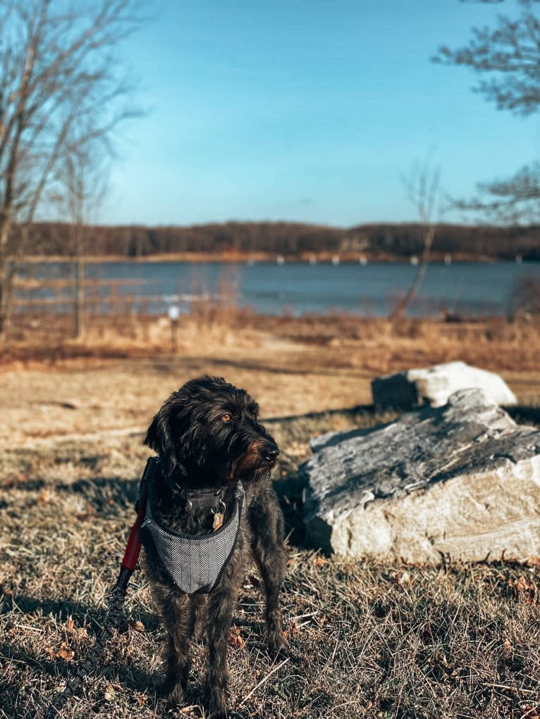 Photo of Ruby, a Beagle, Poodle (Small), Treeing Walker Coonhound, Basset Hound, German Shepherd Dog, and Mixed mix in Paintsville, Kentucky, USA