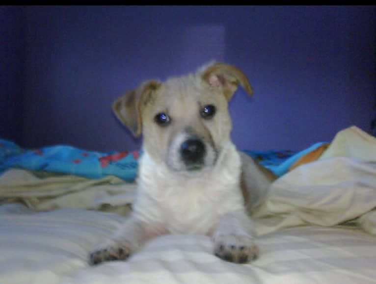 Photo of Sammy, an Australian Cattle Dog, Pug, and Mixed mix in Gonzales, Louisiana, USA