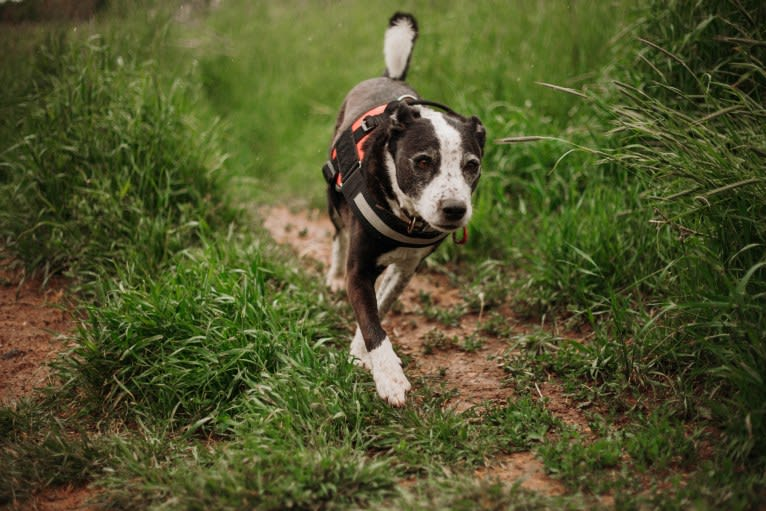 Photo of Scooter, a Border Collie and Staffordshire Terrier mix