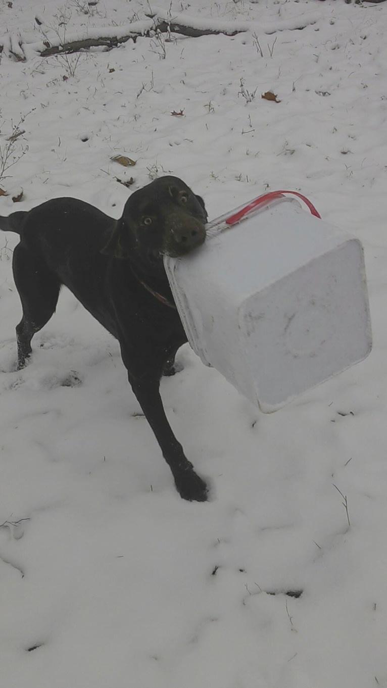 Photo of Jimmy, a Labrador Retriever mix in Hermann, Missouri, USA