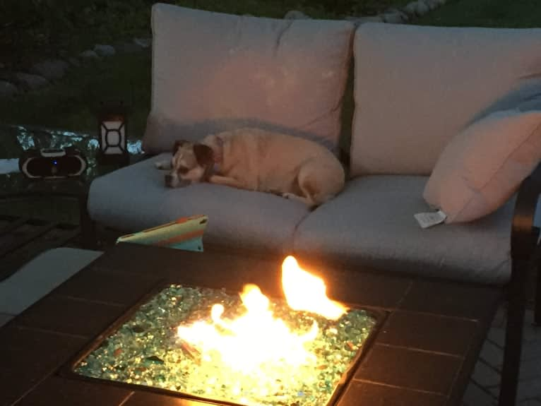 Photo of Gracie, a Pug, Chihuahua, Papillon, and Mixed mix