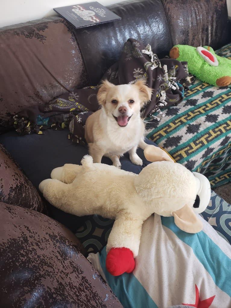 Photo of Ziggy, a Chihuahua, Pekingese, Pug, and Boston Terrier mix in Alabama, USA