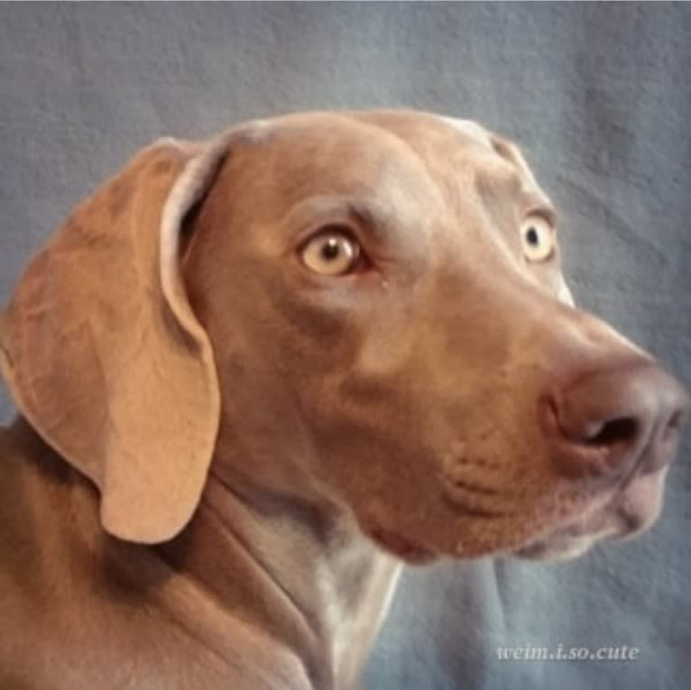 Photo of Shelby, a Weimaraner  in California, USA