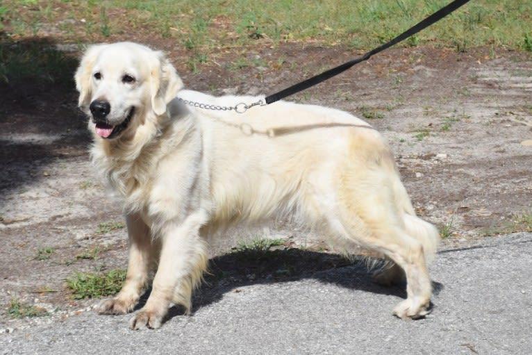 Photo of Max, a Golden Retriever  in Hernando, FL, USA