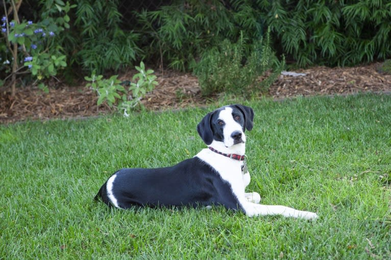 Photo of Ruby, a Bloodhound, Great Dane, American Pit Bull Terrier, Labrador Retriever, and Mixed mix in Louisiana, USA