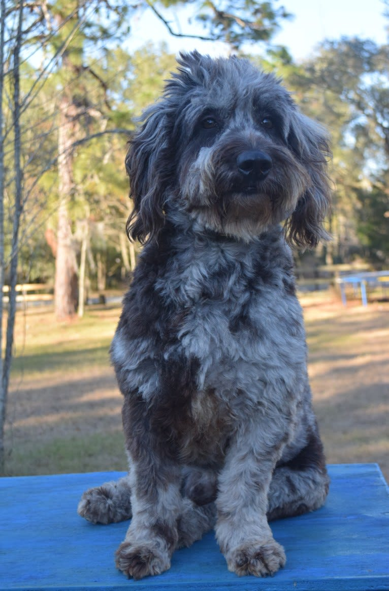 Photo of Scribbles, a Goldendoodle  in Hernando, FL, USA