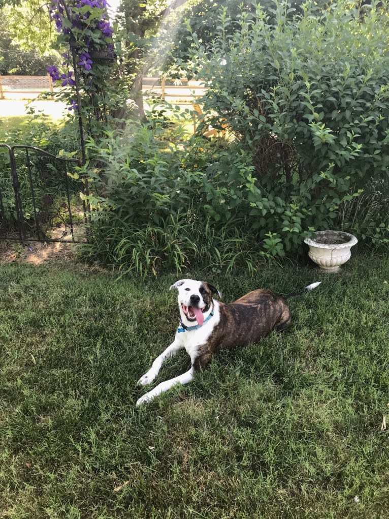 Photo of Riley, an American Pit Bull Terrier, American Staffordshire Terrier, Chow Chow, and American Bulldog mix in Missouri, USA