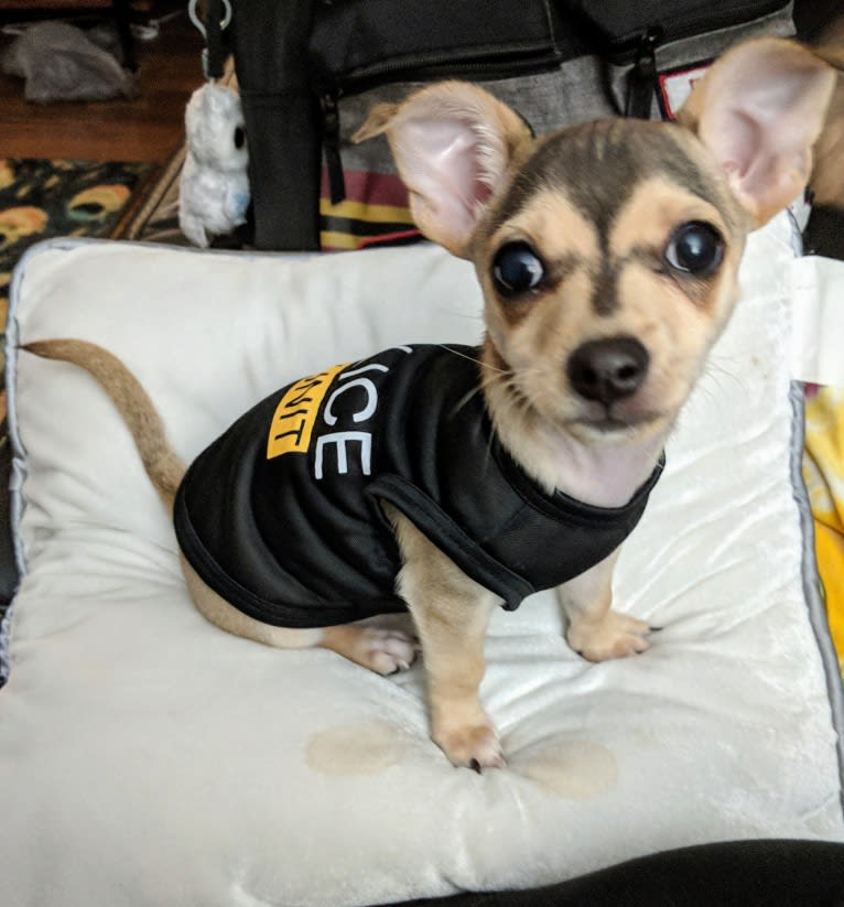 Photo of Dexter, a Chihuahua  in Troy, Missouri, USA