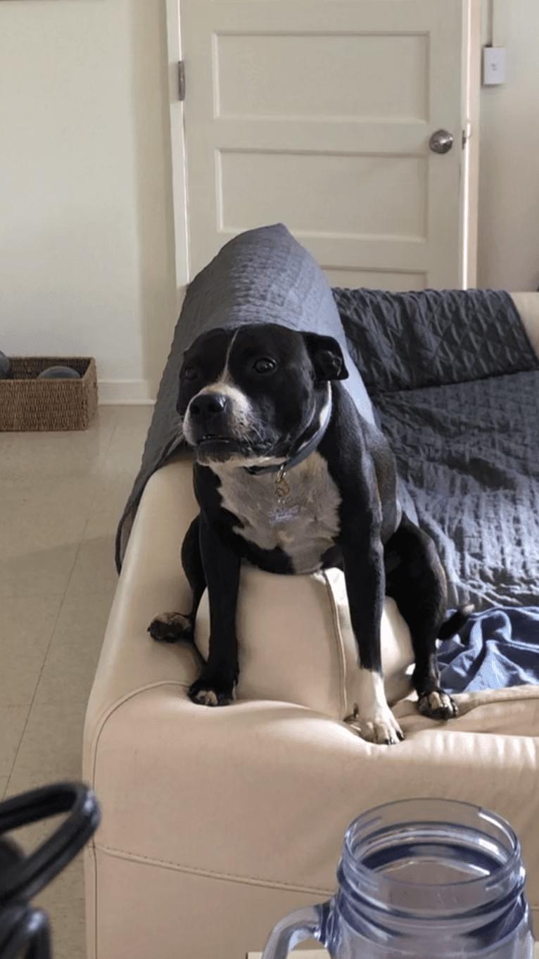 Photo of Sasha, a Staffordshire Bull Terrier  in Ewa Beach, Hawaii, USA
