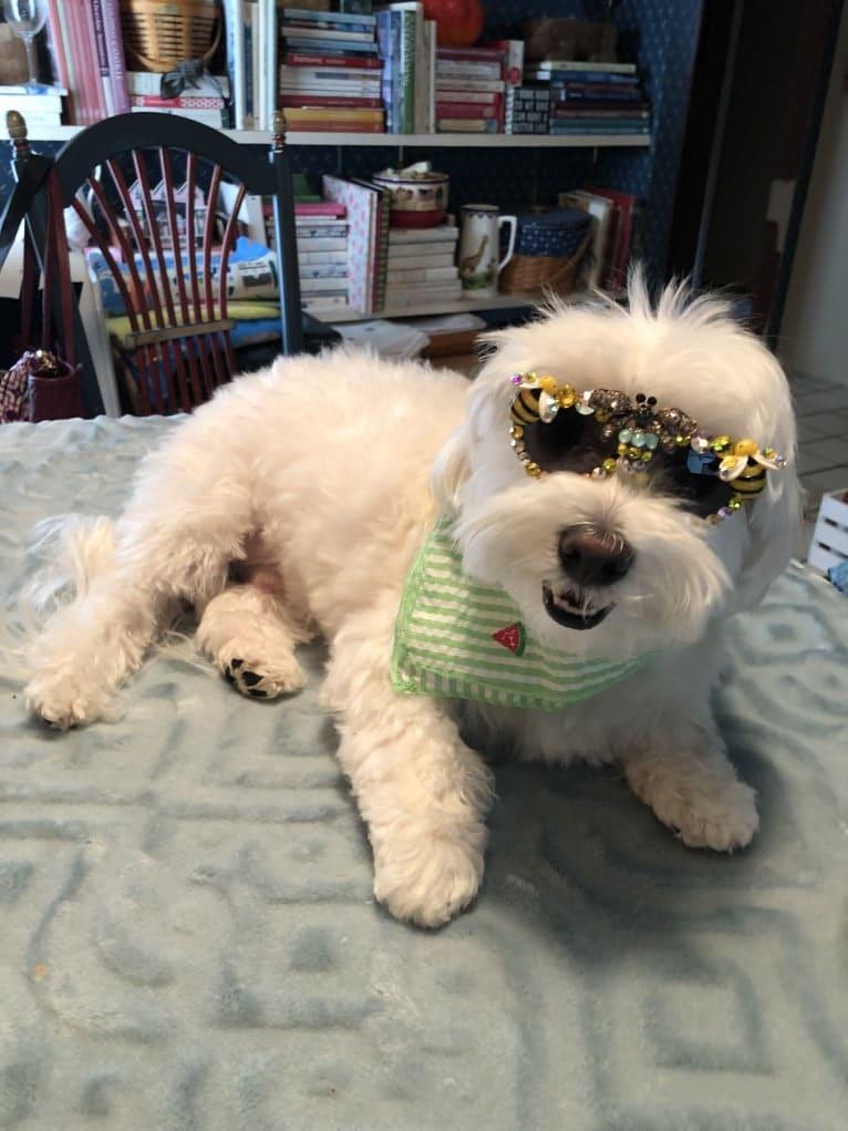 Photo of Brody, a Maltese  in Huntington, New York, USA