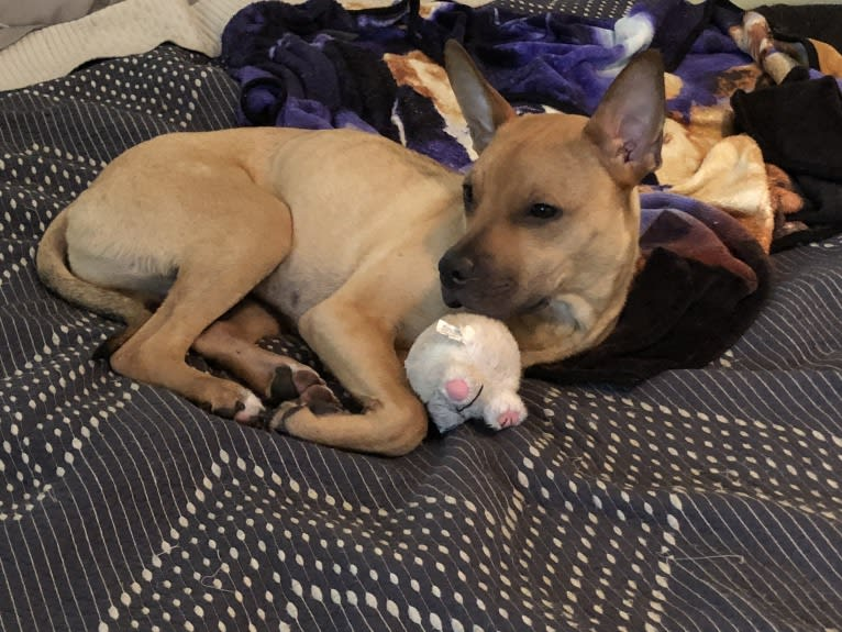 Photo of Moose, an American Pit Bull Terrier and Boston Terrier mix in Gainesville, Florida, USA