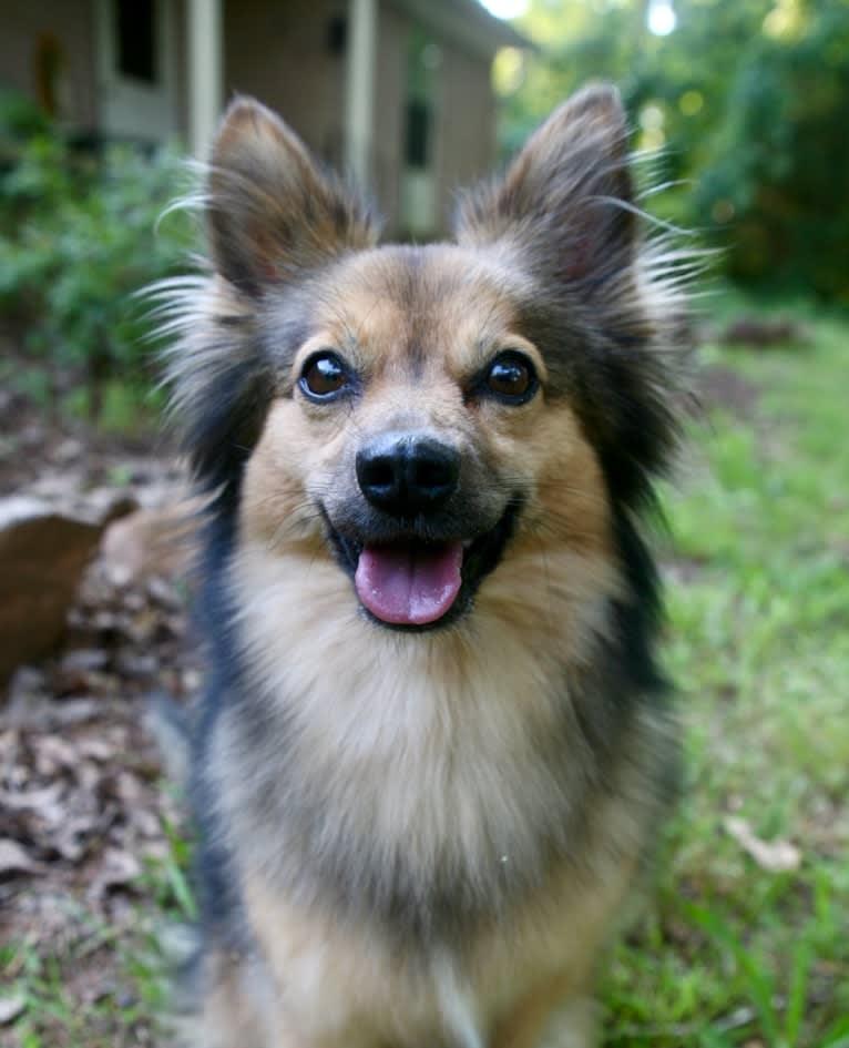 Photo of Viva, an American Eskimo Dog, Miniature Pinscher, and Boston Terrier mix in Athens, Georgia, USA