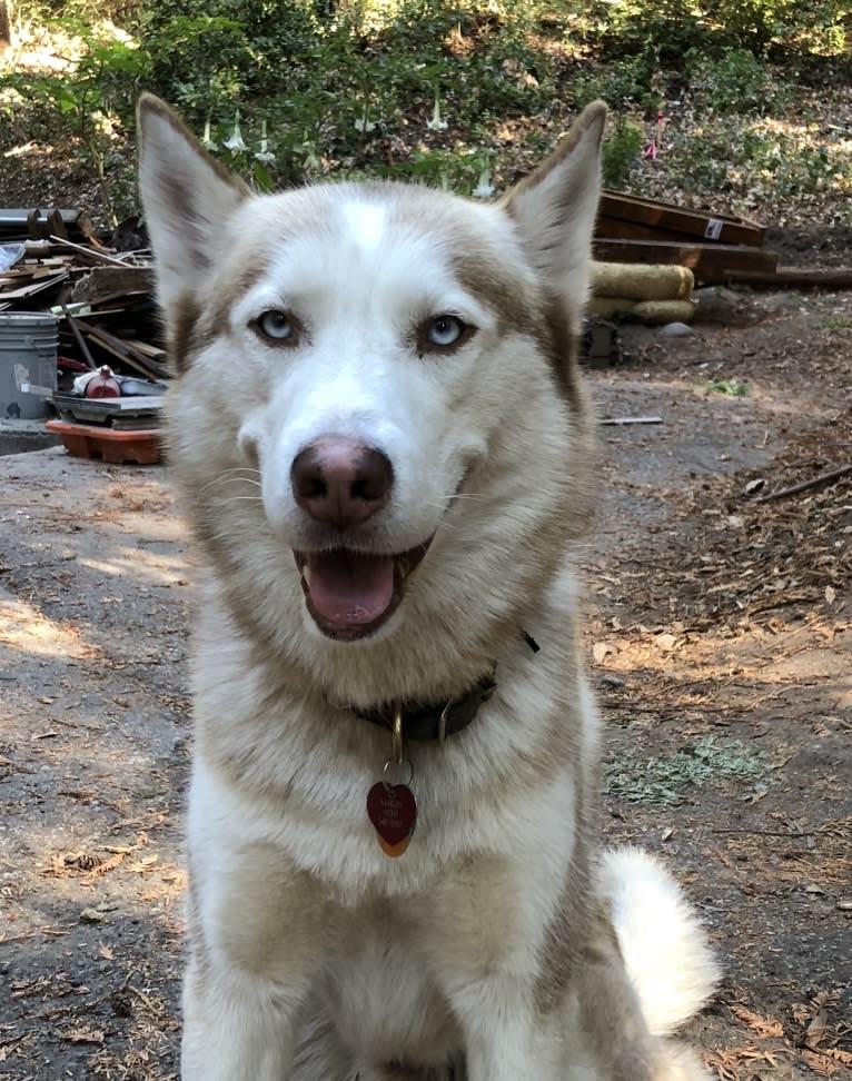 Photo of Marley, a Siberian Husky  in Berkeley, California, USA