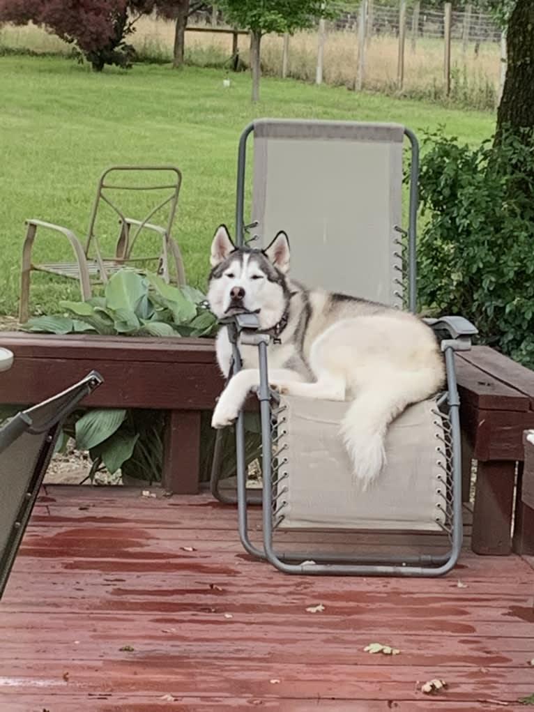 Photo of Romeo, a Siberian Husky and Alaskan Malamute mix in Redding, California, USA
