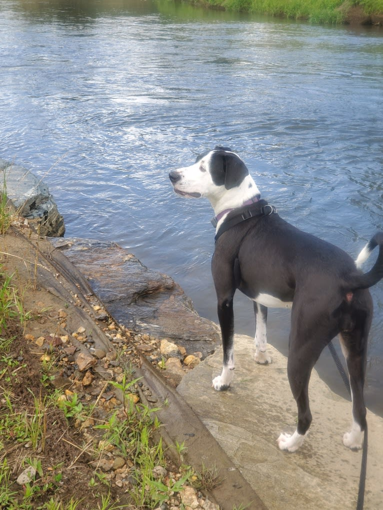 Photo of Penny, an American Bully and American Bulldog mix in Boone, North Carolina, USA